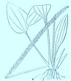 Plantain (Plantago major)Artwork by ~ Jerilee Wei