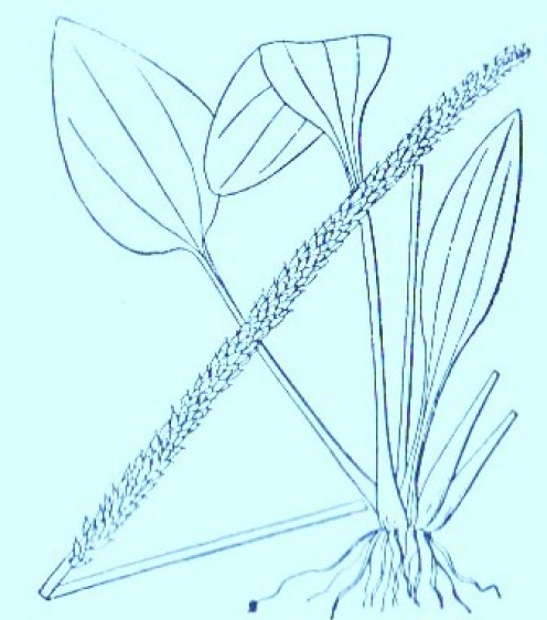 Plantain (Plantago major)Artwork by ~ Jerilee Wei