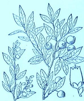 Blueberry (Vaccinium angustifolium)Artwork by ~ Jerilee Wei