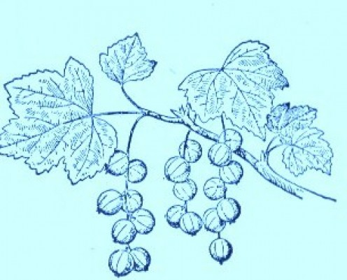 Golden Currant (Ribes aureum)Artwork by ~ Jerilee Wei