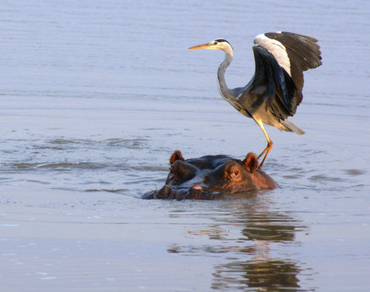 Hippo and Heron at Nsumo Pan, Mkuze Game Reserve