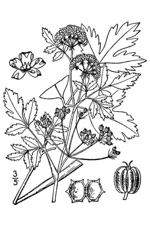Wild Celery illustration (source: Britton, N.L., and A. Brown. 1913. An illustrated flora of the northern United States, Canada and the British Possessions. 3 vols. Charles Scribner's Sons, New York. Vol. 2: 660.)