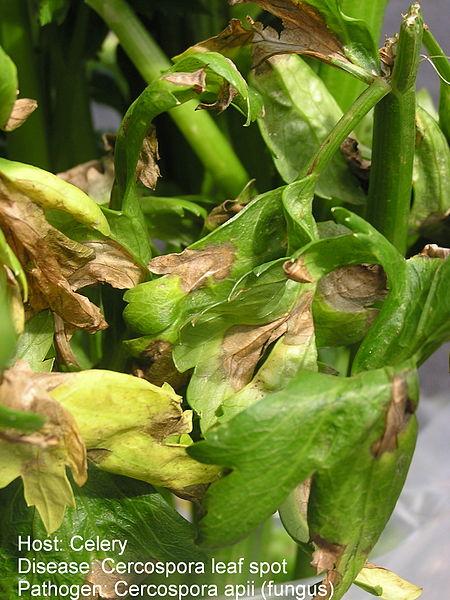 Cercospora leaf spot of celery caused by Cercospora apii