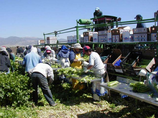 Celery harvesting and packing in a temprory field plant. (Courtesy: Steve Bottorff and Pat Moyer)