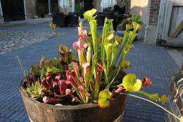 Pitcher plants in a half barrel planter.