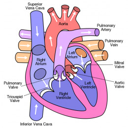 The human heart is a wonder of nature but it can also be vulnerable to different conditions.