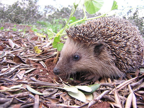 The hedgehog is the gardener's best friend for pest control