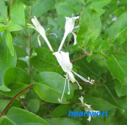 Honeysuckle flowers are used for coughs, flu's, fevers and, externally, skin inflammations.  Both the flowers and leaves are edible.