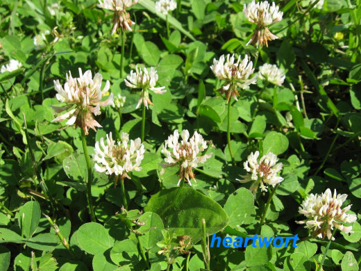 Considered a blood cleanser in cases of infection and gout, white clover flower tea is also used as an eyewash.  Flowers and leaves are edible also.