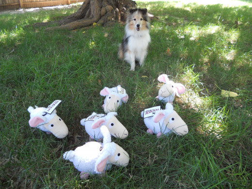 """Aslan """"herding"""" stuffed sheep he won for first place finishes at a recent agility trial."""