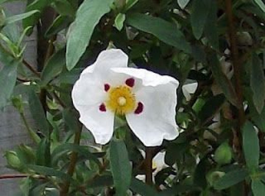 A Rock Rose in full bloom.