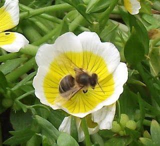 A Honey Bee.