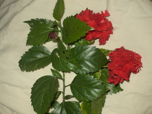 Hibiscus flower has wonderful medicinal properties for hair health