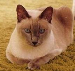 My beautiful Lilac point Siamese cat -  Chris