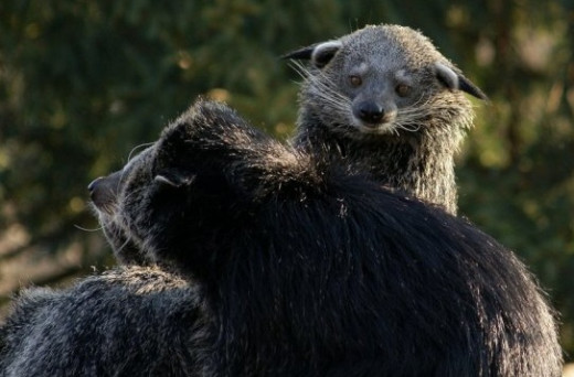 The Binturong is generally a solitary animal, though groups are not uncommon. The female Binturong is always the dominant adult in the group.