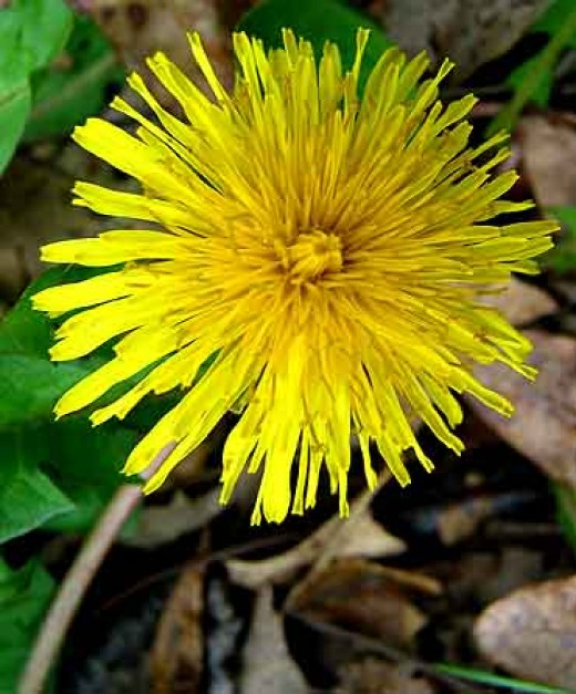 Rejoicing with the Dandelion