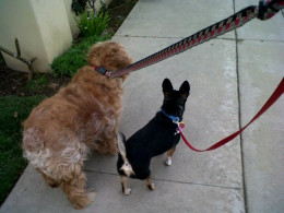 Sammy with his baby brother on his favorite past time a walk through the neighborhood.