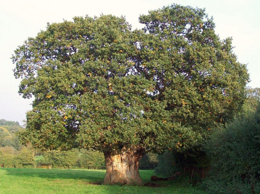 An Old Oak