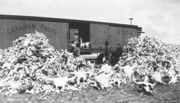 From the Collections of Canada site.  Millions of buffalo were slaughtered on the prairies -- mostly for their skins.  http://www.collectionscanada.gc.ca/trains/kids/021007-5050-e.html