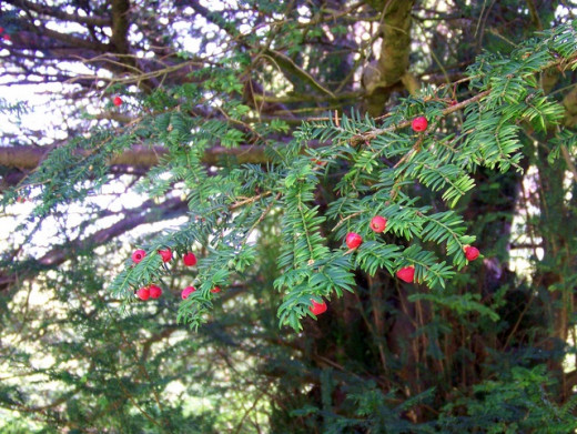 Yew with fruit