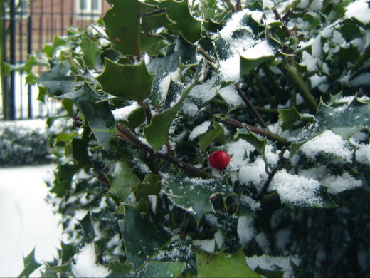 Holly with fruit during winter