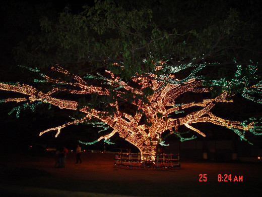 Saman tree in Valencia, Venezuela, lit up at Christmas time.