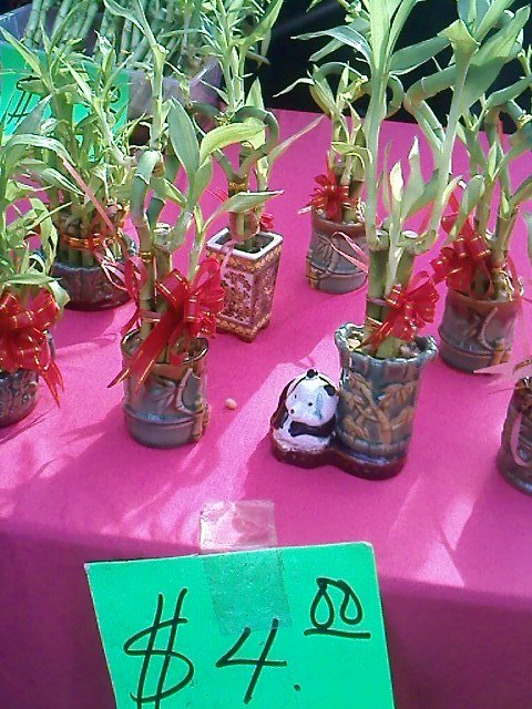 Lucky bamboo plants I had spotted. These are worth $4 each but if you're only after the lucky bamboos, they are available for $1 a bundle.
