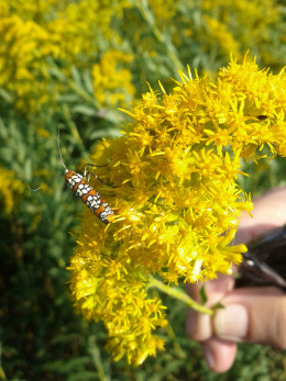 Goldenrod provides a tiny ecosystem of insects and birds.