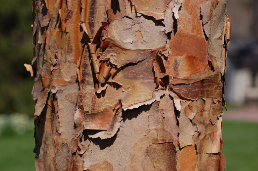 Exfoliating bark of a Paperbark Maple