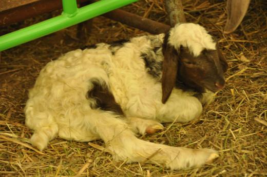 Lamb at Springtime