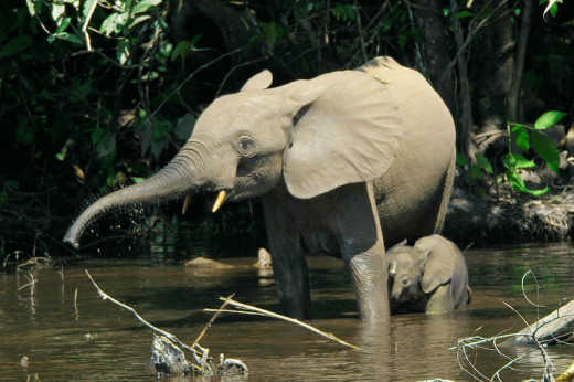 A mother and baby forest elephant in the Mbeli River in the Nouabale-Ndoki National Park, Congo Basin.