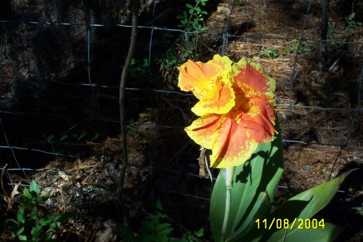 A wild iris arising out of the ashes of a recent fire