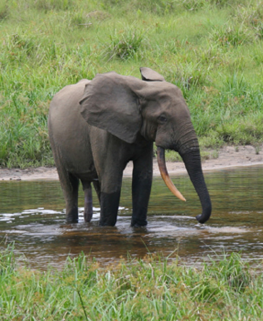 The African forest elephant is a distinct species, making it the third largest land mammal behind its savannah and Asiatic cousins. Note the pinkish tusks which are highly prized by poachers.