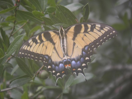 A monarch butterfly at rest in a nearby tree