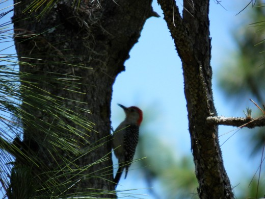 A red headed woodpecker digging bugs out of a dead tree trunk