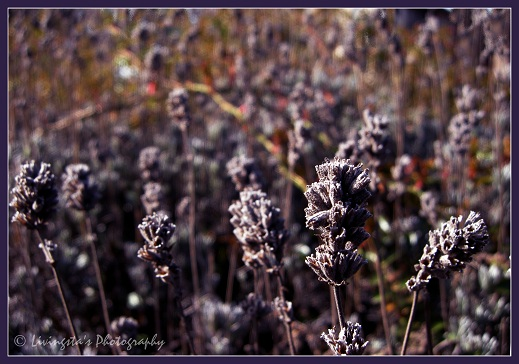 The Lavenders, they were almost drying out!