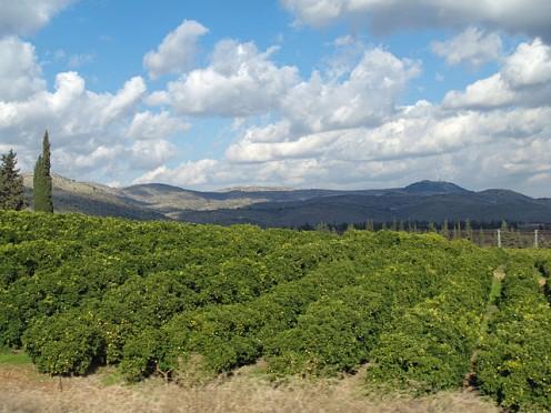 Lemon Orchard in Galilee, Israel by David Shankbone