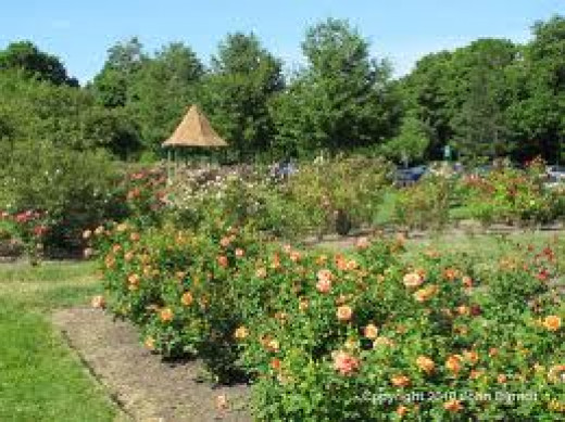 Maplewood Rose Garden