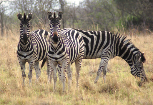 Zebra always a pleasure to watch.