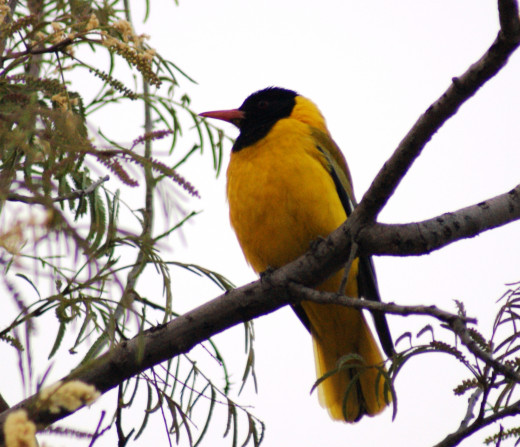 Black-headed Oriole entertained with bright colours and beautiful call.