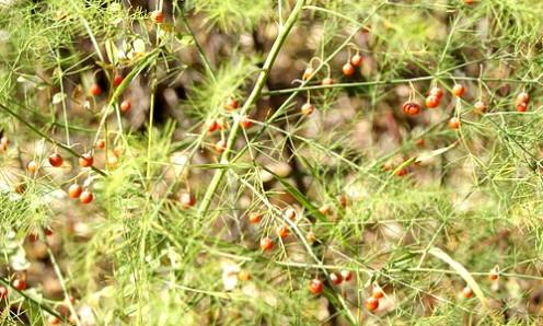 Wild asparagus seeds