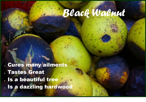 Black Walnut and What You Can Do With It