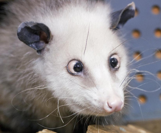 Your Opossum: Pet or Pest?