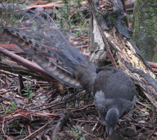 While I stood very still, the male lyrebird scratched nearby. Extremely hard to capture in the forest with dark light. Melbourne, Australia.