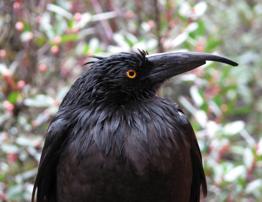 A bedraggled old currawong in the rain - it looked at me so intently that it was easy to focus on its eyes.