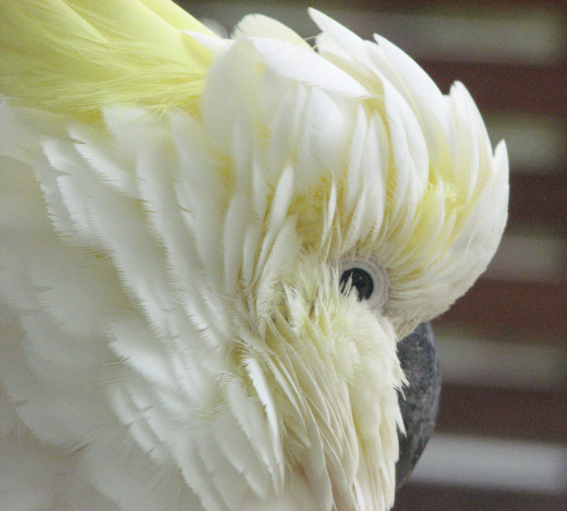 A close up of a cockatoo, ruffled against a cold wind. The frame is filled with the bird's face, focused on the eyes.