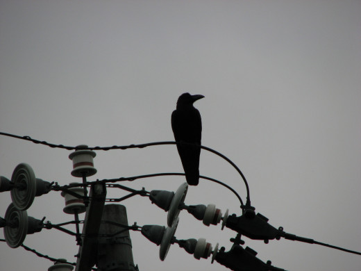 A silhouette against a grey sky of a crow in Wakanai, Japan.
