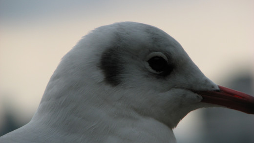 With the light fading towards evening, detail in the gull's face is lost, especially around the eyes.