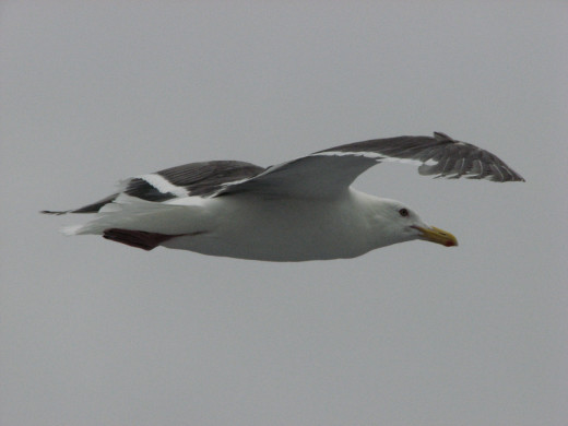A seagull flying over the ferry, Rebun Island, Japan.