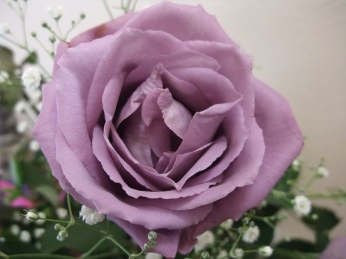 The genetically modified 'blue' rose 'Applause' which isn't really blue.